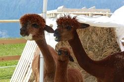 На Монте Бальдо живут Ламы мини