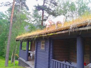 Типичная крыша норвежского домика облюбована козами - никто из нас не смог удержаться от возгласов удивления!